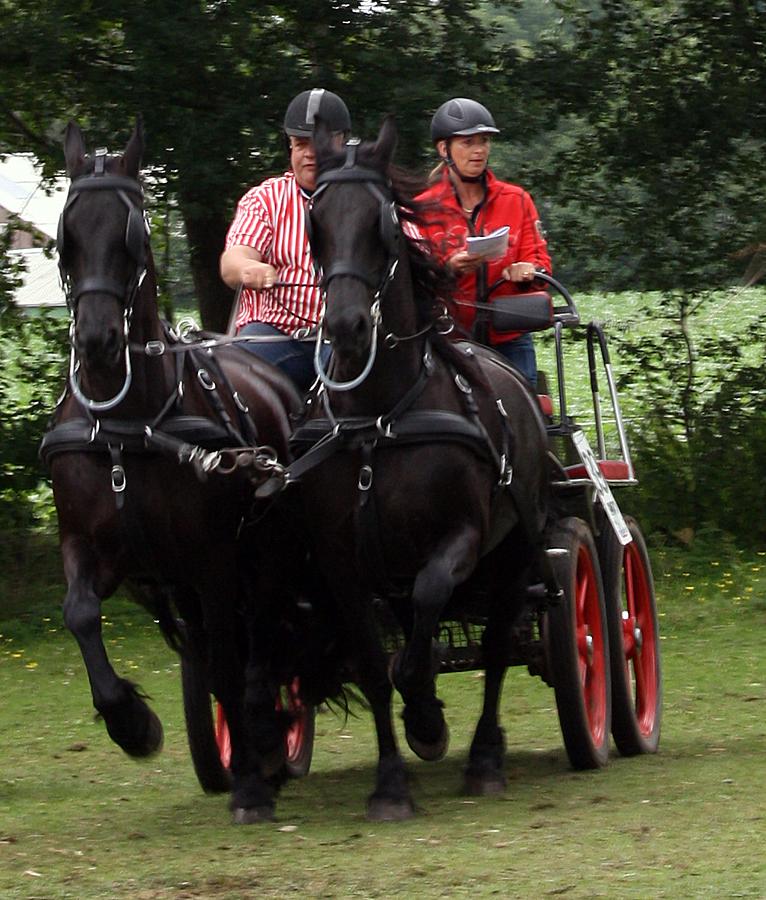 dag-van-aangespannen-paard-twee-span-friezen-paarden