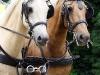 dag-van-aangespannen-paard-twee-span