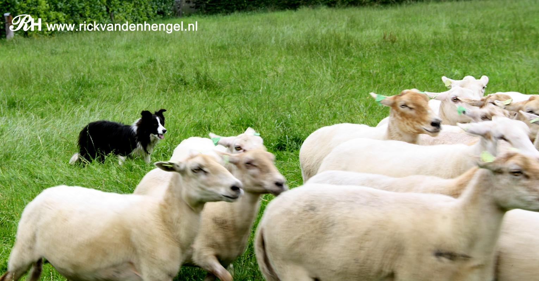 border-collie-die-de-schapen-bij-elkaar-drijft-door-de-lens-van-rick-van-den-hengel