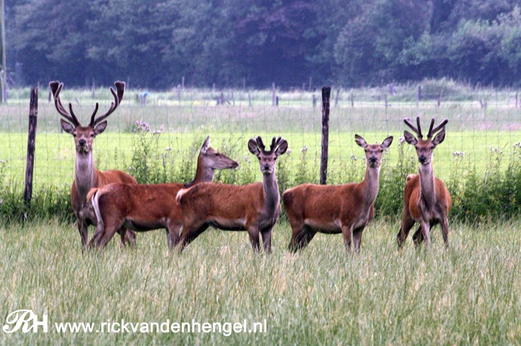 drie-mannetjes-edelherten-met-twee-vrouwtjes-door-de-lens-van-rick-van-den-hengel