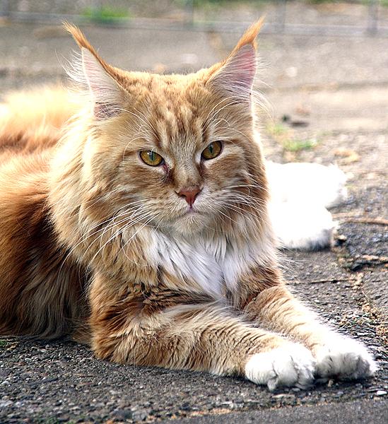 Fotografie Nijkerk main coon kat door Rick van den Hengel