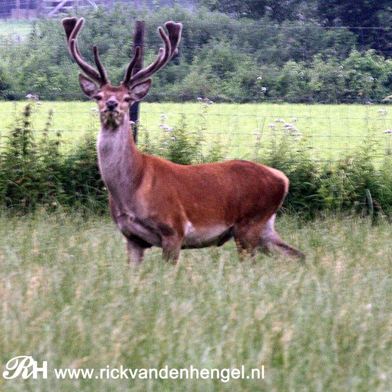 mannetje-edelhert-bij-de-camping-de-manenschijn-door-de-lens-van-rick-van-den-hengel