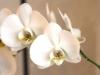 witte-orchidee-gemaakt-door-rick-van-den-hengel
