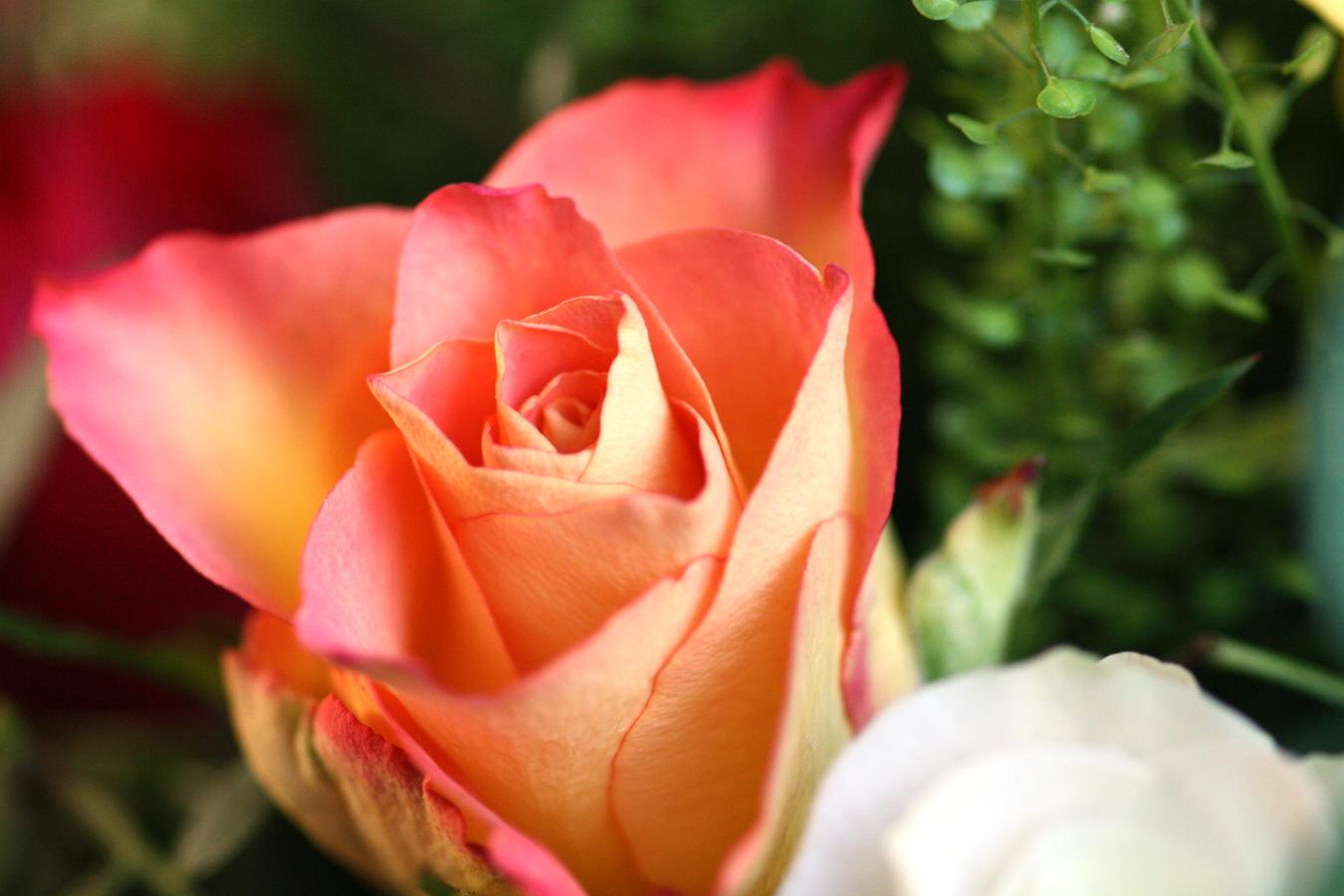 zalmkleurige-roos-gemaakt-door-rick-van-den-hengel