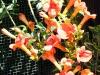 trompetbloem-in-bloei-door-de-lens-van-rick-van-den-hengel