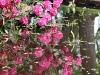 weerspiegeling-bloeiende-rhodondendron